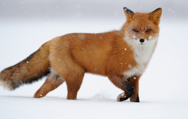 red fox in snow - photo #33