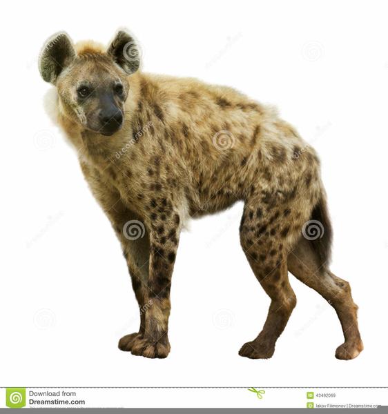 Hyena Clipart