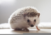 Baby Hedgehog Drawing Image