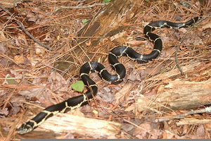 Eastern Black Kingsnake Image