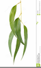 Gum Leaves Clipart Image