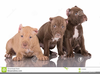 American Pit Bull Terrier Clipart Image