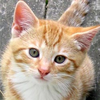Ginger Kitten Face Image