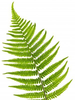Free Clipart Fern Image