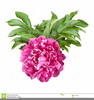 Free Clipart Peonies Image