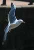 Gull Bird Image