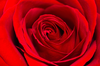 Red Rose Background Jzm Image