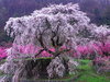Cherry Tree Images Image
