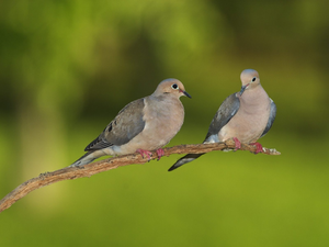 Pair Of Mourning Doves Image