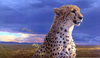 Cheetah Animal Wallpaper Image