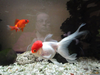 Beautiful Goldfish Pictures Image