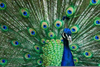 Male Peacocks Feathers Image