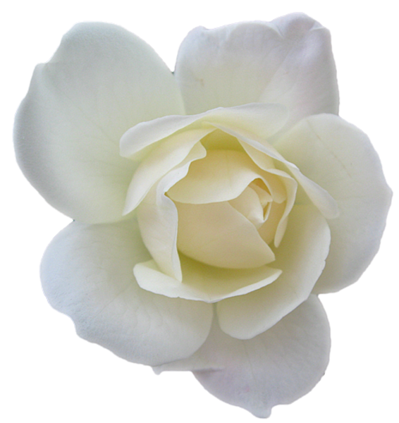 Flower Black And White Transparent Png Pictures: Flower Rose White Transparent