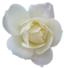 Flower Rose White Transparent Image