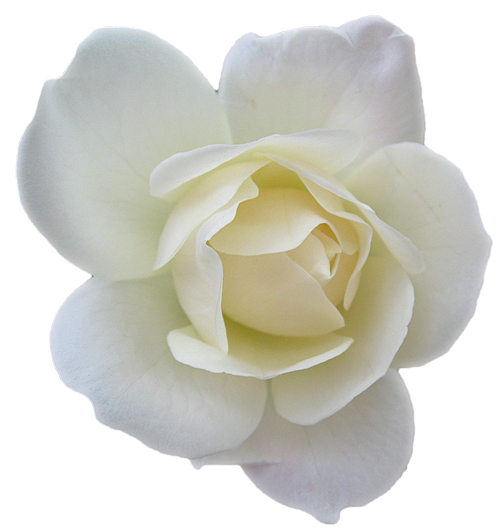 Flower Rose White Transparent Free Images At Clker Com Vector Clip Art Online Royalty Free