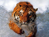 Bathing Tiger Image