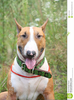 English Bull Terrier Clipart Image