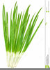 Green Onion Clipart Image