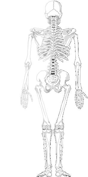 skeleton posterior clip art at clker com