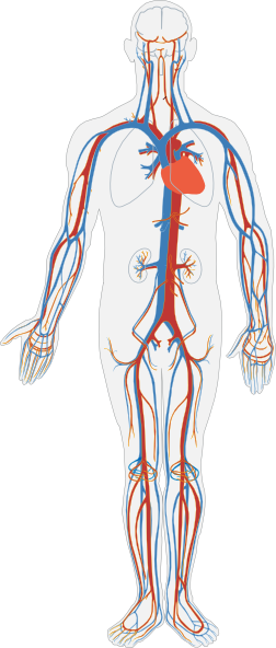 circulatory system no labels -#main