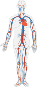 Circulatory System No Labels Clip Art