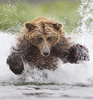 Tin Man Lee Won The Smithsonians Natures Best Photography Competition With This Shot From Alaskas Katmai National Park Of A Grizzly Bear Pouncing Through Icy Waters Image
