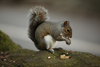 Squirrel Eating Nut Image