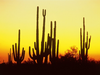 Saguaro Cactus At Sunset Arizona Image