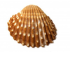 Sea Shell Close Up Isolated Image