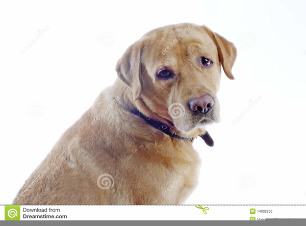 Animation Clipart Labrador Retrievers | Free Images at ...