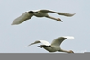 Swans Flying South Image
