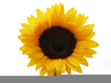 Sunflower Clipart Image