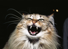 Mean Cats Hissing Image