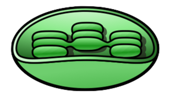 Chloroplast 2 free images at clker vector clip art online download this image as ccuart Gallery