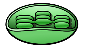 23003 moreover Describe On Parenchyma Tissue further Orvillelesage wordpress additionally Clipart 77219 also Animal Cell Diagrams To Print. on plant cell diagram not labeled