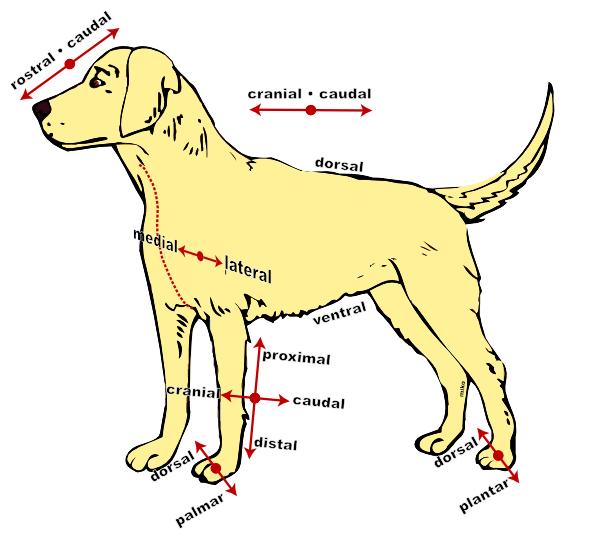 Anatomy Dog Clip Art at Clker.com - vector clip art online, royalty ...