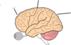 Brain Anatomy  Clip Art