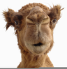 Camel Face Images Image