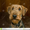 Airedale Terrier Clipart Image