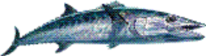 Blue Water King Mackerel Fish Web Icon Image