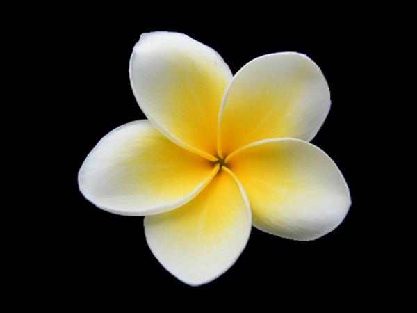 Plumeria Free Images At Clker Com Vector Clip Art