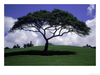 Shade Tree On Grassy Hill Posters Image