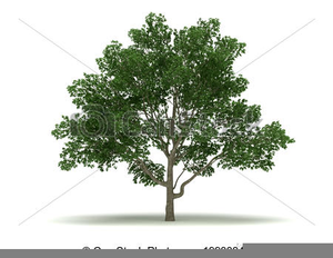 Clipart Of Magnolia Tree Free Images At Clkercom Vector Clip