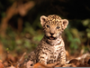 Baby Jaguar Animal Image