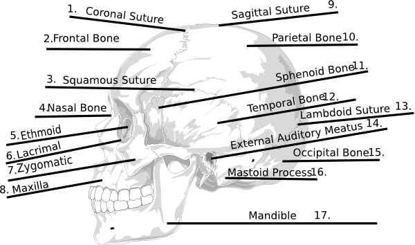 answers skull bones quiz clip art at clker com