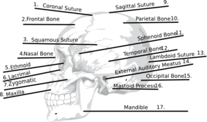 answers skull bones quiz clip art at clker com