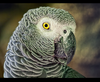 African Grey Image
