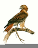 Red Tail Hawk Clipart Image