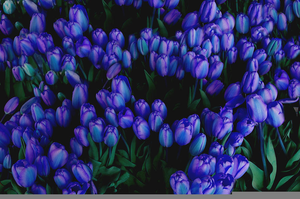 Blue Tulips Flowers Image