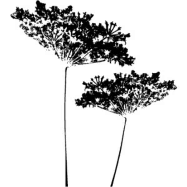 queen annes lace free images at clkercom vector clip
